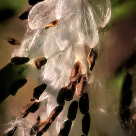 Milkweed Seeds by Donna Kennedy