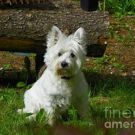Miss Daisy Art Print West Highland White Terrier by Art Sandi