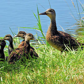 Elaine Manley - Mom and Baby Ducklings