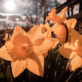 Mom's Daffodils by Jim Love