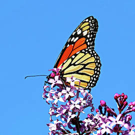 Monarch And Lilacs by Debbie Oppermann
