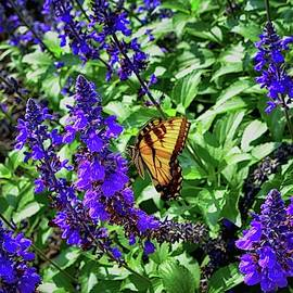 Monarch Butterfly Among The Lavender by James DeFazio