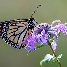 Monarch Butterfly Beauty by Dale Kincaid