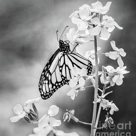 Monarch butterfly BW by Joseph Miko