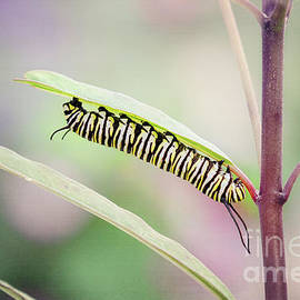 Monarch Butterfly Caterpillar by Sharon McConnell