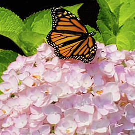 Monarch Butterfly by Pat Cook