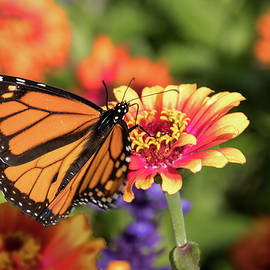 Monarch on Indian Blanket by Ira Marcus