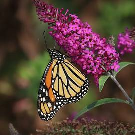 Monarch on Pink Butterfly Bush by Marlin and Laura Hum
