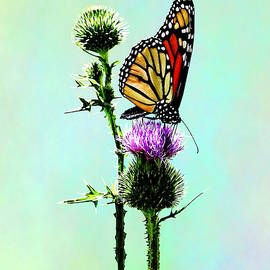 Monarch On Thistle by Susan Savad