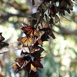 Monarch Teamwork by Julieanne Case