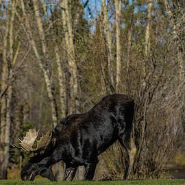 Julieta Belmont - Moose