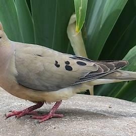 Morning Dove #1 by Paul - Phyllis Stuart