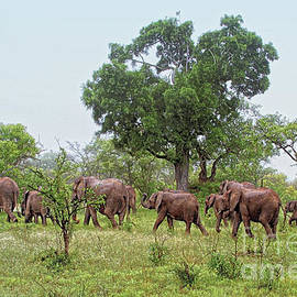 Morning Elephant Migration in South Africa by Catherine Sherman