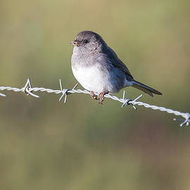 Morning Junco by Sharon McConnell