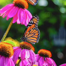 Morning Monarchs. Butterfly Photograph by Stephen Geisel
