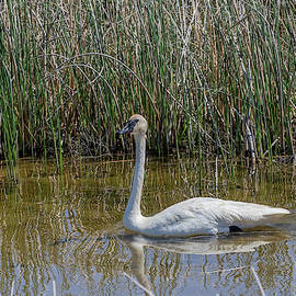 Mother And Baby Swans by Michael Chatt