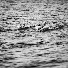 Mother Dolphin And Calf Swimming In Moreton Bay. Black And White by Rob D Imagery