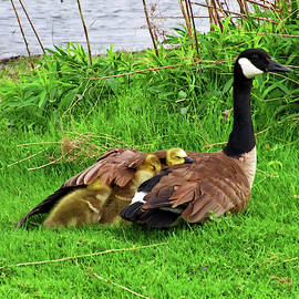 Mother Goose and Goslings by Maria Keady