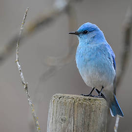 Joy McAdams - Mountain Bluebird