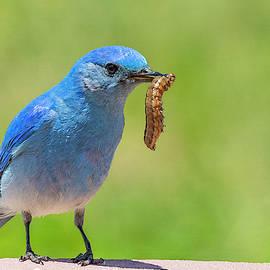 Mountain Bluebird with a Feast by Lowell Monke