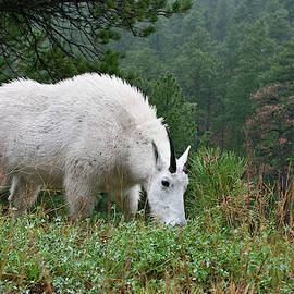 Mountain Goat - 0311-2 by Jerry Owens