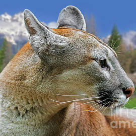 Mountain Lion by Arterra Picture Library