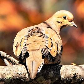 Mourning Dove in Autumn by Mary Ann Artz
