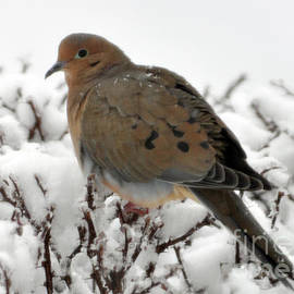 Mourning Dove In Snow 2 by Lydia Holly