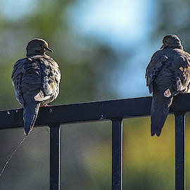 Mourning Doves Relaxing in Last Light 1  by Linda Brody