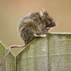 Mouse on the Fence by Stamp City