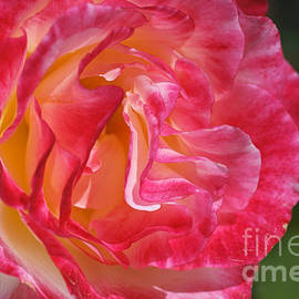 Movement Within The Pink Rose by Joy Watson