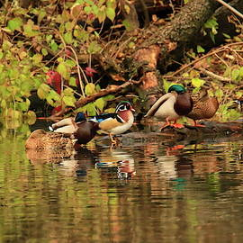 Mr and Mrs Wood Duck and friends by Geraldine Scull