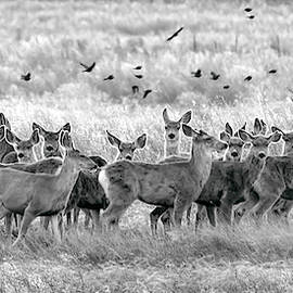 Mule Deer Black And White 01 by Rob Graham