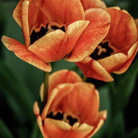Multi-Colored Tulips by Robert Bales