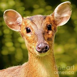 Muntjac Deer by Martyn Arnold