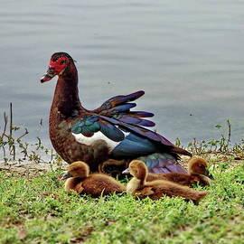 Muscovy Duck Family by Lyuba Filatova