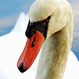 Mute Swan by Debbie Stahre