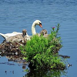 Mute Swan Family by Lyuba Filatova