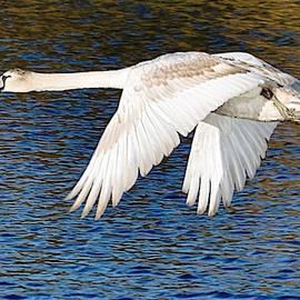 Mute Swan In Flight by John Hughes