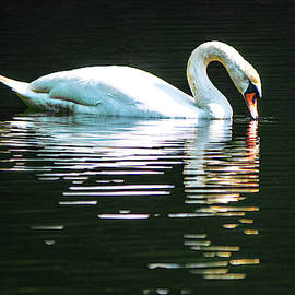 Mute Swan Sipping by Mary Ann Artz