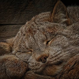 Ernie Echols - Napping Lynx