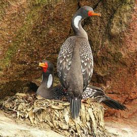Nesting Cormorants by Michelle Tinger