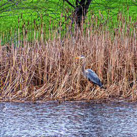 Nesting Great Blue Heron by Steve Harrington