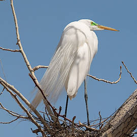 Nesting Great Egret by Loree Johnson