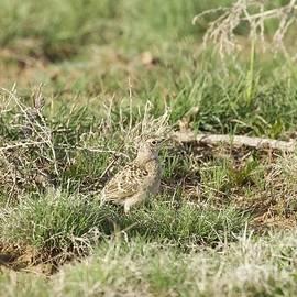 Colorado Nestling Western Meadowlark II by Angela Koehler