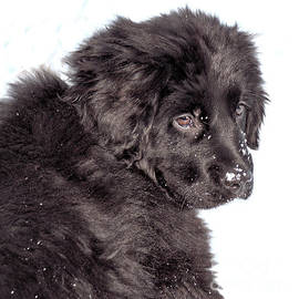 Newf Pup  by Debbie Stahre