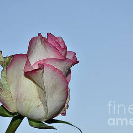 Nice Colorful Rose by Elvira Ladocki