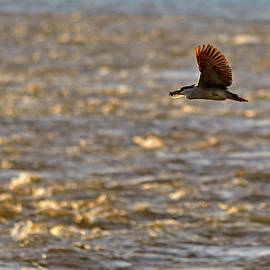 Night Heron in-flight with his fish by Asbed Iskedjian