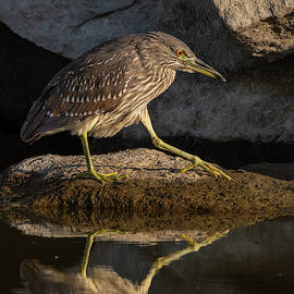 Night-Heron Takes a Step 10/12 by Bruce Frye