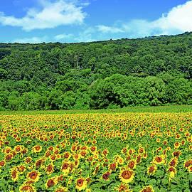 N.J. Sunflower Field of Joy by Regina Geoghan